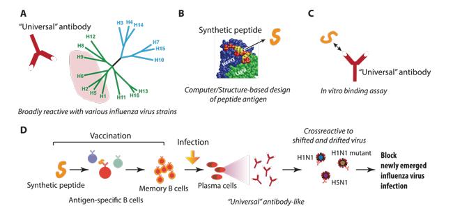 influenza antigen shift